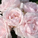 rosier-le-petit-trianon.jpg