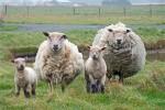 mouton-433958.jpg